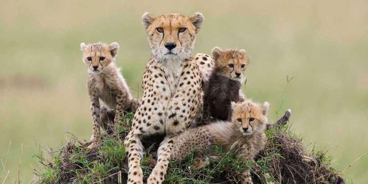 Motorist arrested for killing a cheetah at Kruger National Park